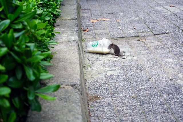 Photo of rat on street by Mert Guller on Unsplash